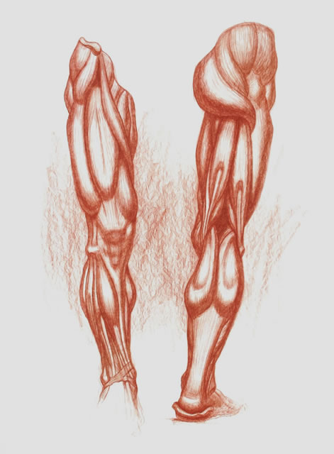 Human Muscle Drawing Tenderness
