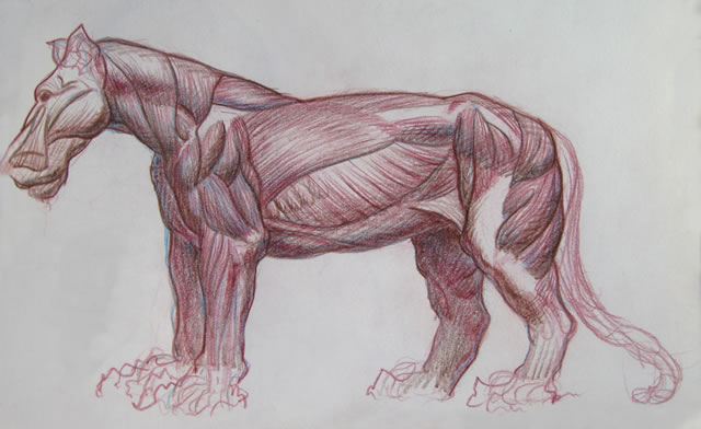 Lion muscle anatomy